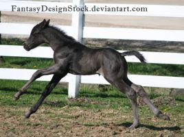 Foal-Carl 27 by FantasyDesignStock