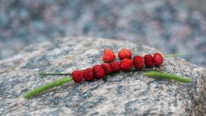 Wild strawberries by Ylvali