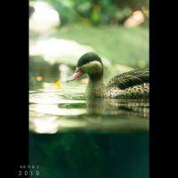 A Duck by Renez