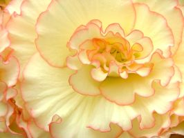 .stock: ruffled yellow begonia by guavon-stock