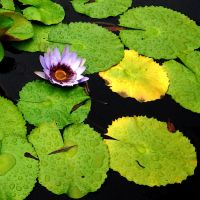 Lone water lilly by irishcompass