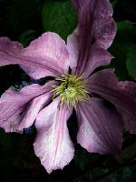 clematis close by awjay