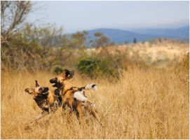 Wild Dogs Playing V by TamarViewStudio