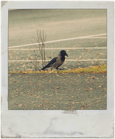 crow . by iDeathNee
