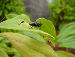 Fly on Leaf by Coelophysis83