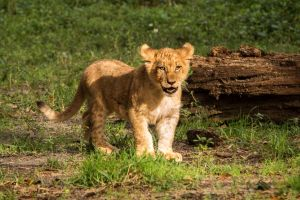 Cub 1 by 904PhotoPhactory