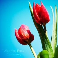 Tulips by WouterPera