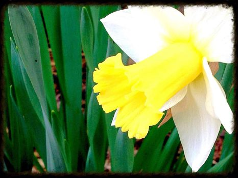 Daffodil Delight by TheDaynish