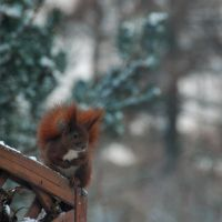 red squirrel by Wilithin