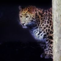 Amur Leopard by graphic-rusty
