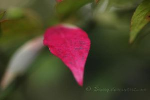 The Red Leaf 3 by Baary
