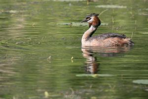 Great crested grebe! by Seb-Photos