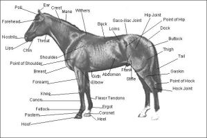 Basic horse anatomy by Equine-Help