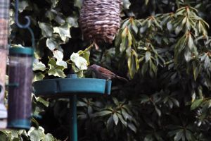 Hedge Sparrow 1 by Takeshi-Toga