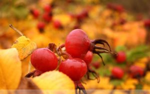 Rose Hip Wallpaper by Clu-art