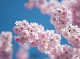 Japanese Flowering Cherry by enaruna