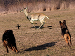 Normal dog + deer = my dog (edited pic) by SusuSketches