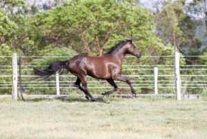Dn black pony gallop side view by Chunga-Stock