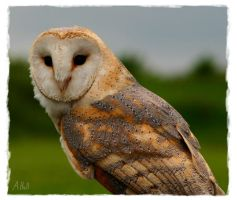 Barn Owl by justdandy