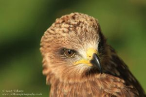 Hawk by twilliamsphotography