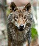 Wolf Canis Lupus by PictureByPali
