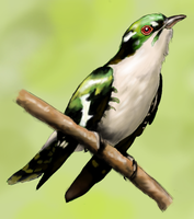 Diderick Cuckoo by BoogaMouse