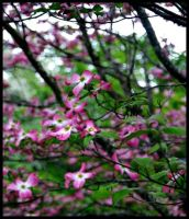 Pink Dogwoods II by bewilderedconfused