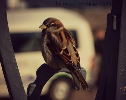 Dresden's Sparrow by Kamima2