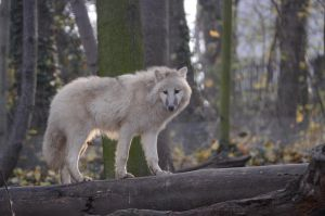 New White Wolves 10 by Lakela