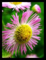 Daisy Fleabane for David by Jenna-Rose