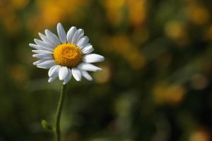 Ox-Eye Daisy by cycoze