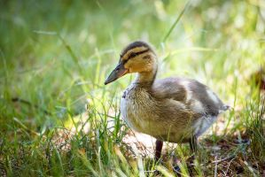 Little duck by juhku