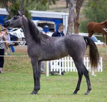 STOCK - TotR Arabians 2013-565 by fillyrox