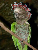 Hawk-Headed Parrot 2 by parrots4life