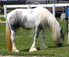 Gypsy Vanner 1 by EquineStockImagery