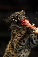 Geoffroy's Cat vs Turkey Leg by Shadow-and-Flame-86