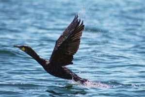 Cormorant Take Off by organicvision