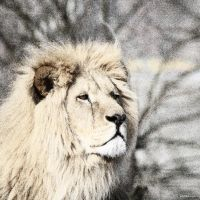 Lion 10 by Globaludodesign