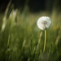 dandelion by mathias-erhart