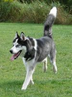 Alaskan Husky Dog by FantasyStock