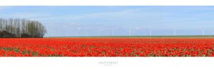 Dutch tulip field by MBKKR