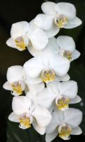 White Orchids by CASPER1830