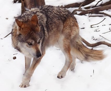 Mexican Wolf Stock 16: Submissive by HOTNStock