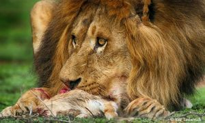 lion close up by Yair-Leibovich