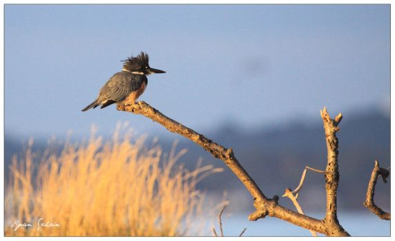 Belted Kingfisher by Ryser915