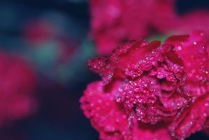 Carnations by Tracys-Place