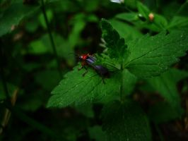 Cantharis by Shady081988