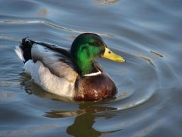 Mallard Duck 01 by MapleRose-stock