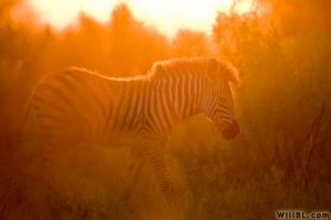 Zebra at Sunset by willbl