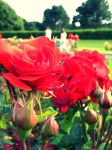 Red Roses. by FlashOfGrey
